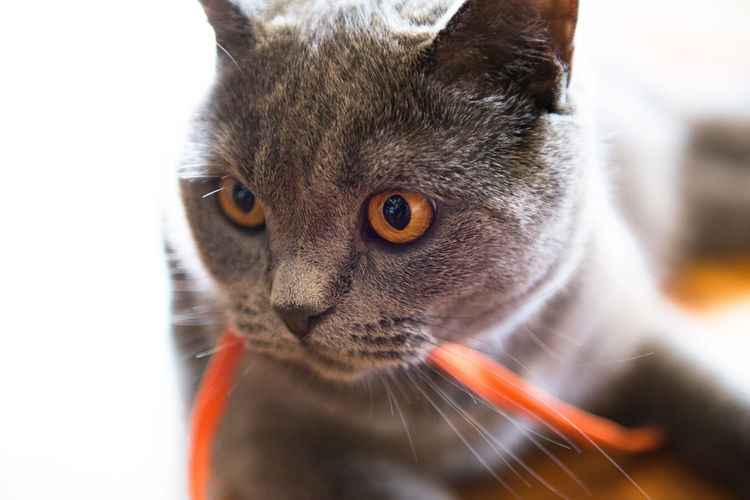 Close-Up Of Cat Carrying Ribbon In Mouth