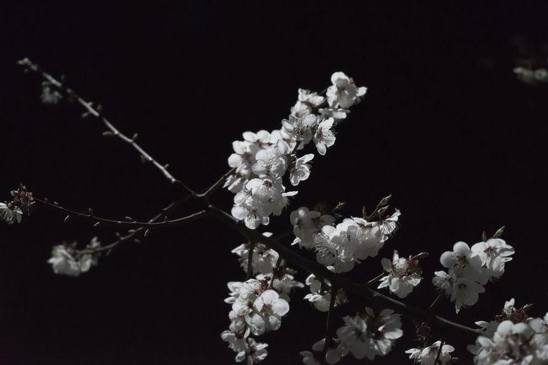 Cherry Blossom. Flowers Trees EyeEm Best Shots Night