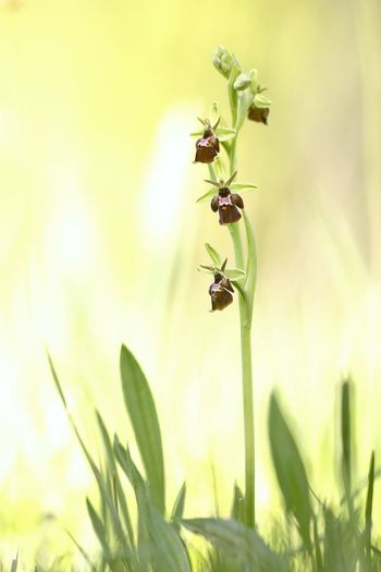 Ophrys holoserica x insectifera (Ophrys x devenensis) Beauty In Nature Beginnings Botany Bud Close-up Day Flower Focus On Foreground Fragility Green Green Color Growing Growth Insect Leaf Nature New Life No People Outdoors Plant Selective Focus Stem Tranquility Twig
