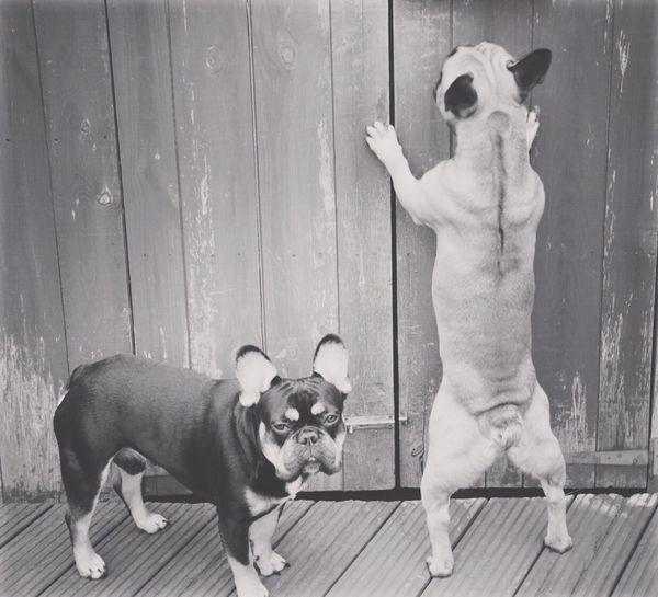 Onlyf Fools And Frenchies Pets Frenchbulldog Dog Rodney BLACK AND TAN FRENCHBULLOG HANDSOME DOGS Delboyandrodney Blackandwhite Photography Blackandwhite