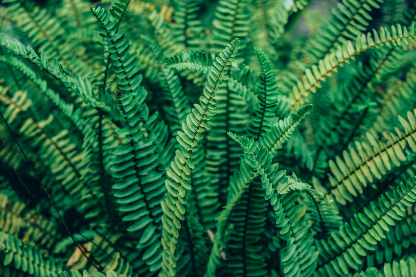 fern Backgrounds Beauty In Nature Close-up Day Fern Foliage Fragility Freshness Full Frame Gardening Green Color Growth Leaf Nature Outdoors Plant Selective Focus
