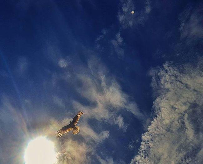 Cielo casi Miramarense. Hermoso como el sol ilumina las plumas de ese pajaro cuan Icaro . Gracias a Alex, Diego y Rodri que me pasaron el dato: el ave se llama Chimango :) Skyporn Birds Ave Instabird Birdwatching Sky Nubesdetuciudad Betterthanpizzq Ig_captures Igargentina Ig_buenosaires Igersbsas Instagood Summer Mardelplata Cloudporn Pajaro MYR Mistica_y_romance Pg_misticayromance Amateurs_shot
