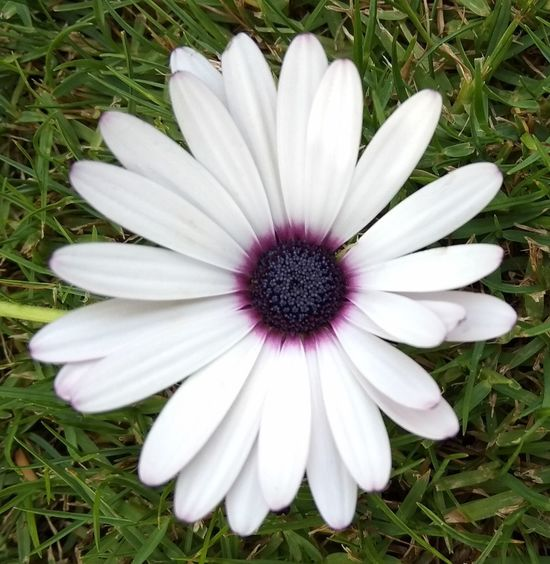 Flower Flower Head Osteospermum Flower Petal Pollen Field Purple White Color Close-up Grass