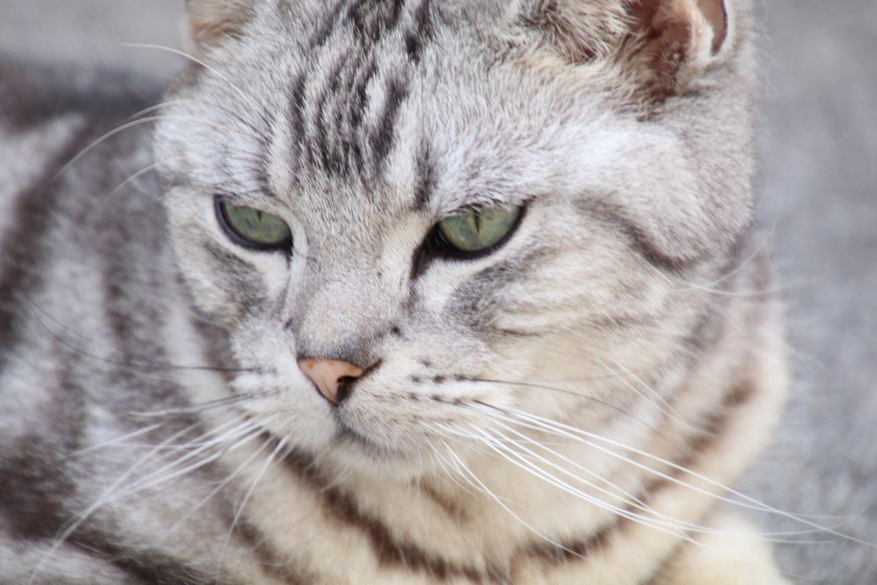 cat, animal, animal themes, mammal, one animal, feline, pets, domestic animals, domestic, domestic cat, whisker, close-up, vertebrate, animal body part, focus on foreground, animal head, no people, portrait, looking, day, animal eye, tabby
