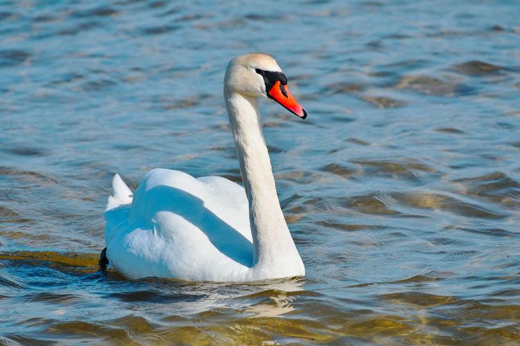 Swans Animal