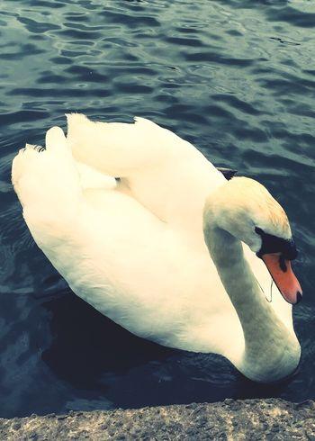 Swan Lake Animals