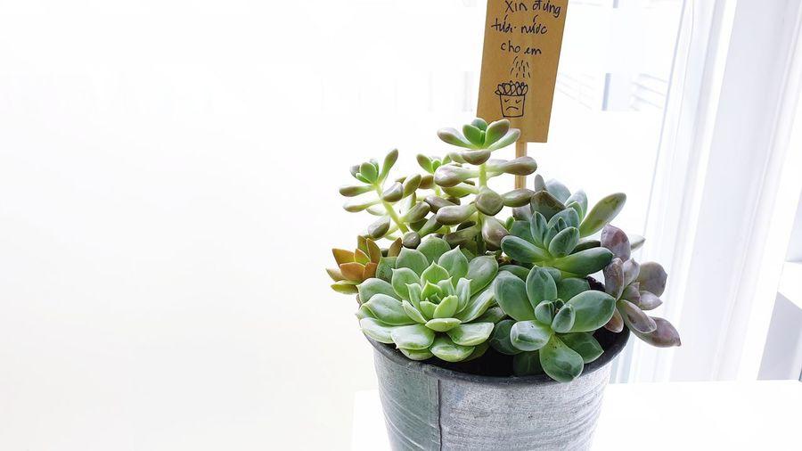 succulent in