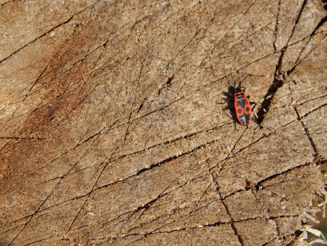 Red bug on a tree stump Bugslife Close-up Insect Nature Red Bug Red Bug Resting On Hot Summer Day Red Bugs Red Bugs Family