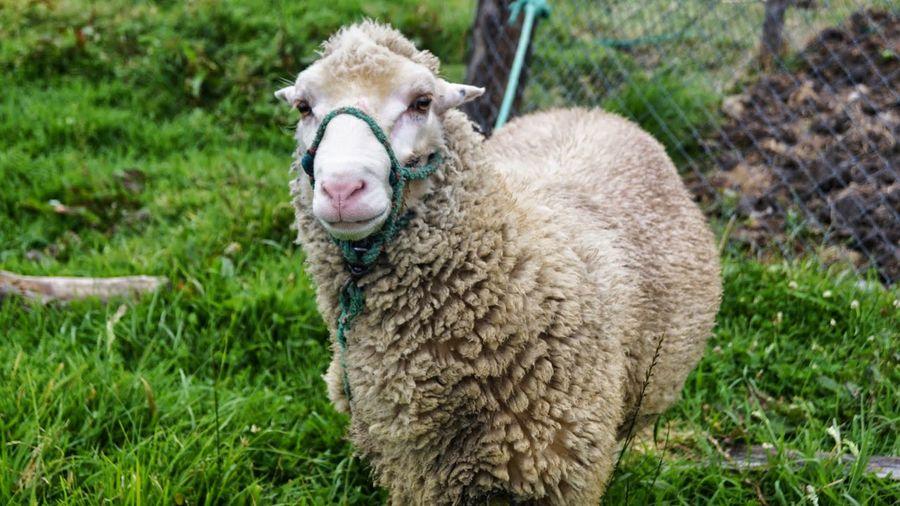 Sheep Farm Life