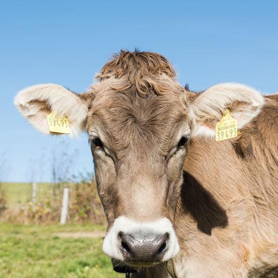 Allgäu Deutschland Haustier Jungbulle Bayern Fell Herbstlich Landwirtschaft Porträt Rind