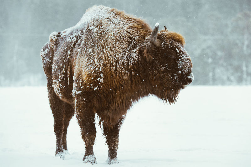 Bison standing on snow covered land during winter