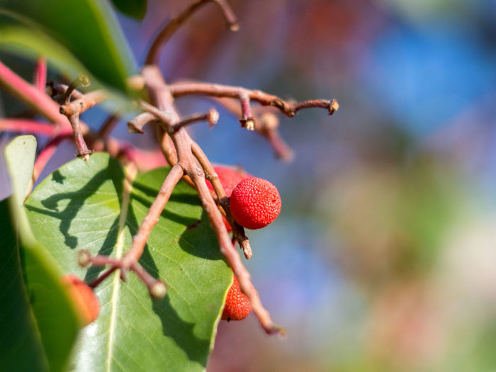 Arbutus Arbutus Andrachne Berry Blue Bokeh Botany Close-up Crimea,Russia Day Freshness Fruit Gawlet Green Growth Leaf Nature No People Outdoors Park Pobedy Red Sevastopol' Tree Victory Park