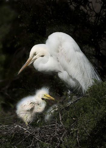 Animal Animal Behavior Animal Themes Animals In The Wild Beak Bird Close-up Day Egret Egret Mom Mom With Baby Nature No People One Animal Outdoors Swan Water Bird White Color