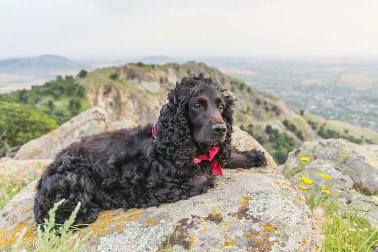 Cocker Spaniel  Green Color RED BANDANA Animal Animal Themes Black Canine Cliff Cute Dog Domestic Friend Fur Landscape Mammal Mountain Nature Outdoors Pets Resting Sitting Stone Valley Watching Young Animal