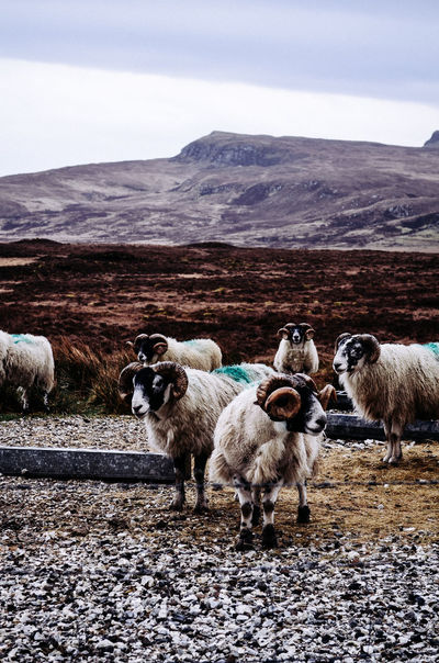 Animal Themes Beauty In Nature Domestic Animals EyeEm Best Shots EyeEm Nature Lover Grass Lamb Landscape Landscape_Collection Landscape_photography Mountain Nature Outdoors Scotland Scottish Highlands Sheep Standing The Great Outdoors - 2017 EyeEm Awards
