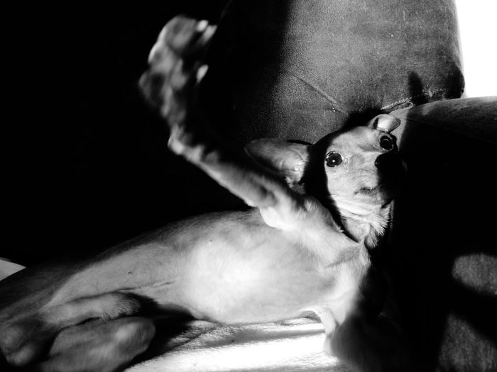 no photos, please, I'm relaxing Dog Shadows & Lights Shadow Bnw Bnw_collection Bnw_captures Bnw_life Blackandwhite Sleeping Relaxing Nophotos Nophotosplease Portrait Pets Looking At Camera Headshot Close-up Pet Bed Focus On Shadow Puppy Long Shadow - Shadow