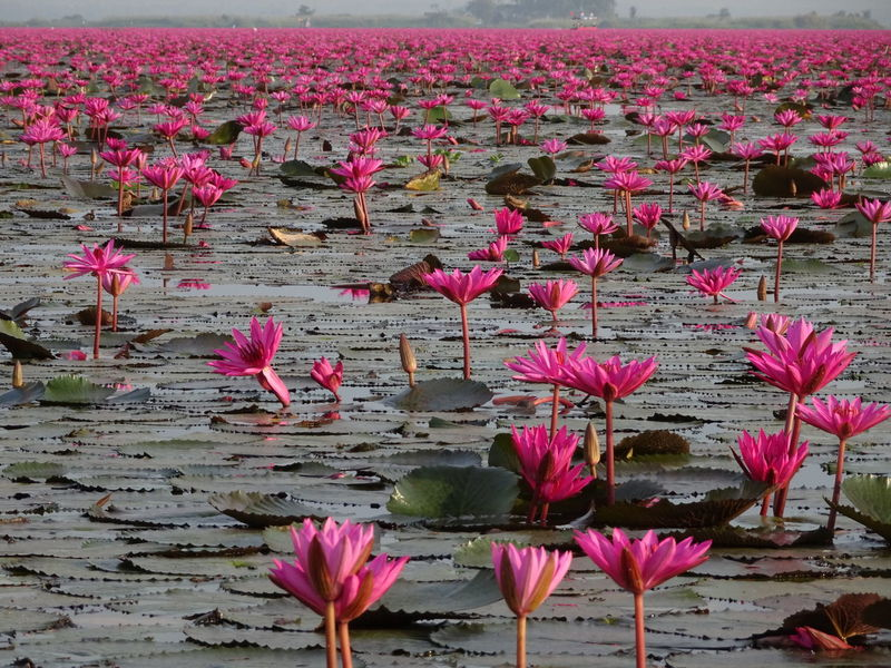 Beautiful place🌸🌸 Beautiful ♥ Tranquil Scene What I See Beautiful Place Color Photography Heaven Heavenly Dreamlike No Filter Travel Destinations Flower Head Flower Water Crocus Leaf Lotus Water Lily Pink Color Poppy Water Lily Springtime Lotus Lily Pad Pond Floating On Water In Bloom Pink Flowering Plant Floating Water Plant Lily