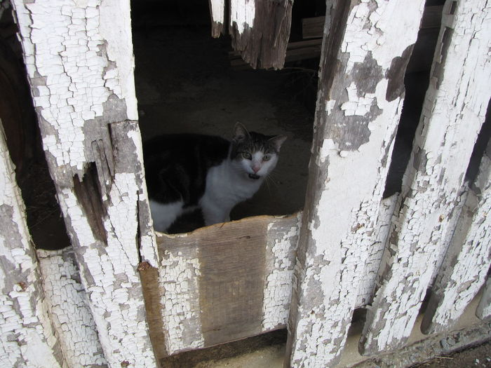 Barn yard cat making the rounds for mice. Age Animal Themes Architecture Barn Barn Yard Built Structure Cat Domestic Animals Domestic Cat Feline Fence Heart Shape Mammal No People Old One Animal Outdoors Peek A Boo Peeking Through Peeling Paint Pets Shelter