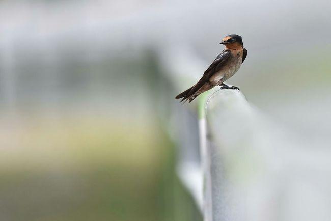 Bird Pacific Swallow Swallow Nature On Your Doorstep