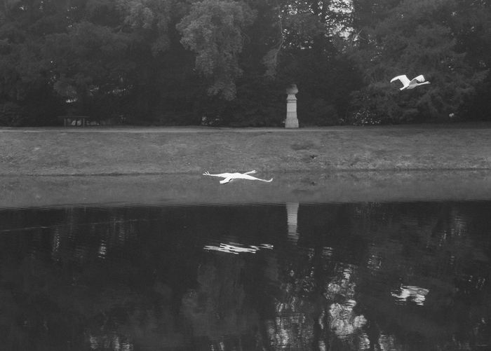 Croome Fog Mist Lake Outdoors No People Reflection Water Bird Flying Day Swans Black And White