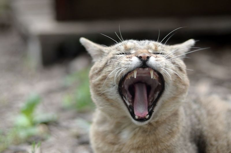 Close-up of a cat yawning