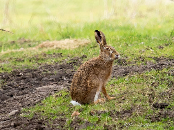 Animal Themes Animals In The Wild EyeEm Gallery EyeEm Nature Lover Field Focus On Foreground Forest GERMANY🇩🇪DEUTSCHERLAND@ Grass Hase Looking Away Nature No People One Animal Outdoors Rabbit Sitting Wildlife