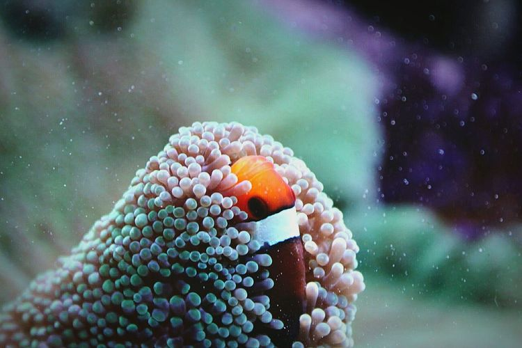 Close-up of clown fish hiding in coral