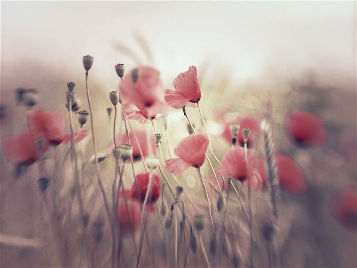 Pastel Power Flowers Pastel Flower Photography Poppy Flowers Poppy Flower Lensbaby  Lensbaby Photographie  Lensbaby Edge 50