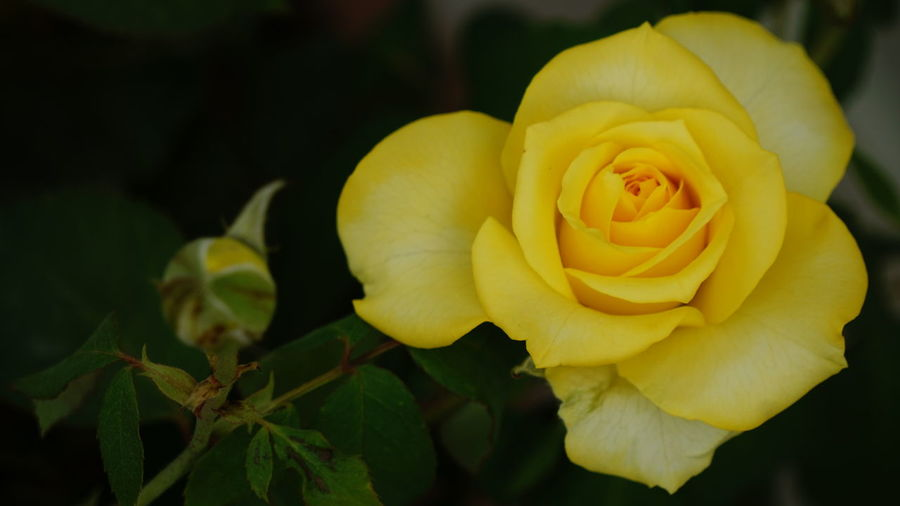 The Romantic Yellow Rose Flower Nature Petal Flower Head Rose - Flower Fragility Plant Beauty In Nature Yellow Freshness Blossom Softness Close-up Springtime No People Beauty Growth Soft Focus Outdoors Day Yellow Rose Eyem Flowers EyeEm Nature Lover Nwin Photography Sony A6000