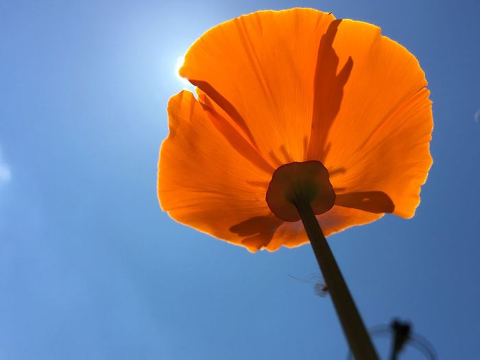 Nature_collection Flowers Beautiful ♥ Capture The Moment Blue Sky Orange Color Sunnyday☀️ Flowers_collection Poppy Poppy Flowers Nofilter Noedit Natural Light Portrait Perspectives On Nature Flowers In The Sky Perspectives On Nature Perspectives On Nature