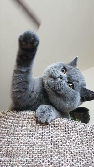 Cat Katze Kartäuser Pets Cute Close-up