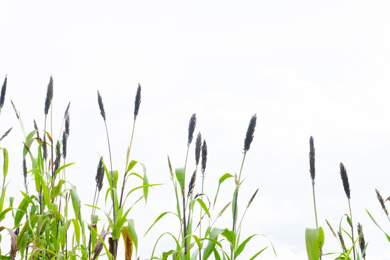 Day Grass Growth Millet Millet On Whi Nature Plant Tranquility White Background