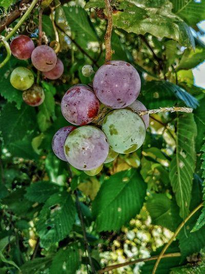 At Home Grapes