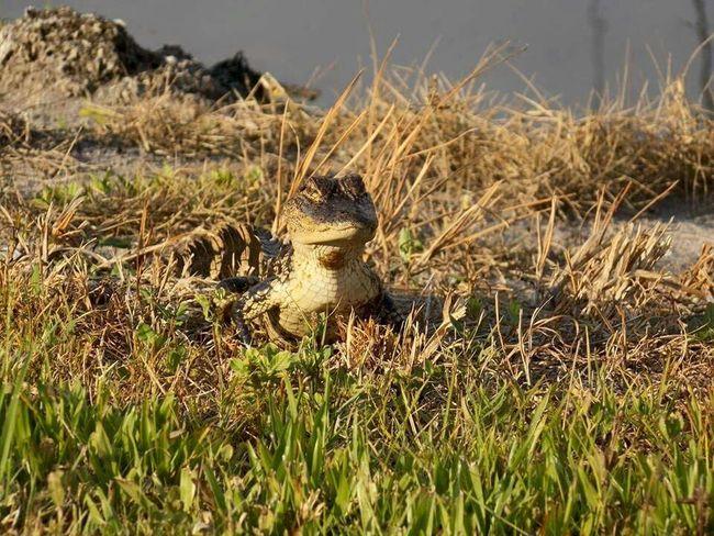 Alligator Floridalife Landscape #Nature #photography