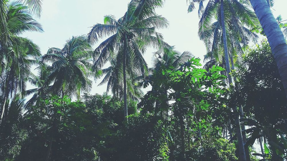 Welcome to the jungle! Quezon Province Coconut Trees Farm Philippines