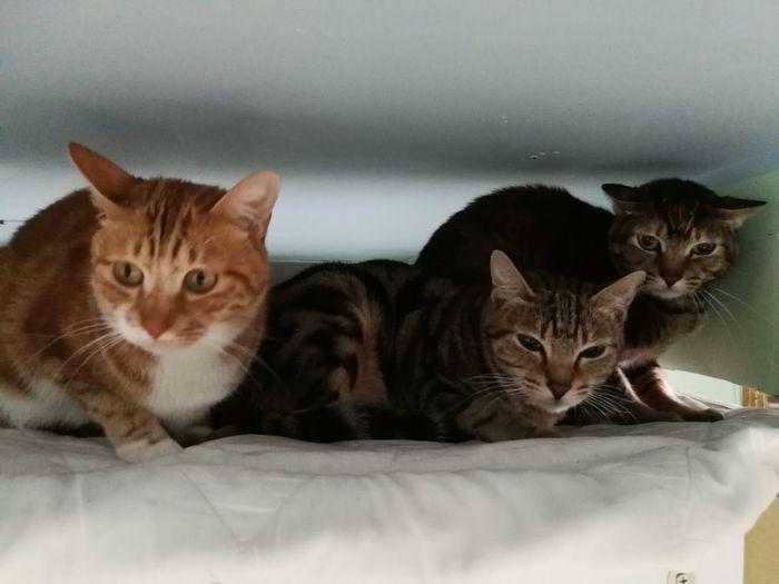 Domestic Cat Pets Feline Domestic Animals Looking At Camera Portrait Indoors