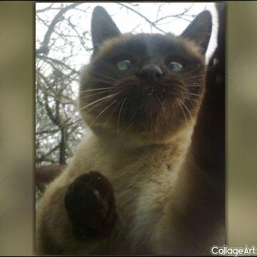 Perlina Gatto Cat Katze siamese zampa paw impronta footprint curiosità curiosity neugier