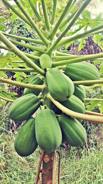 Growth Green Color Tree Fruit Nature Healthy Eating No People Freshness Outdoors Beauty In Nature Food Papaya Mobile Photography St. Croix USVI