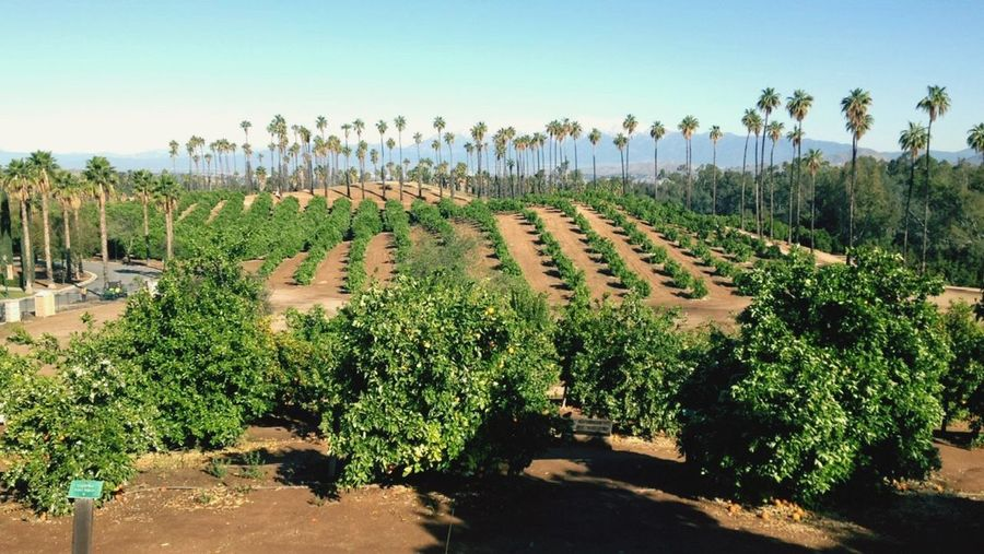 EyeEm Selects Growth Tranquility Outdoors Tranquil Scene Orange Groves
