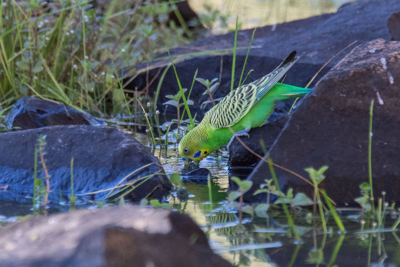 Budgerigar drinking Budgerigar Kimberley Australia Melopsittacus Undulatus Animal Themes Animal Wildlife Animals In The Wild Beauty In Nature Bird Day Nature No People One Animal Outdoors Water Wellensittich Wildlife