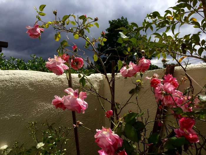Pink Pink Roses Climbing Roses Outdoors Garden Flowers Stormy Sky Dramatic Sky Roses Against Rain Clouds Santa Rosa CA