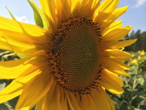 The Environmentalist – 2014 EyeEm Awards Awesome_nature_shots Sunflower EyeEm Best Shots