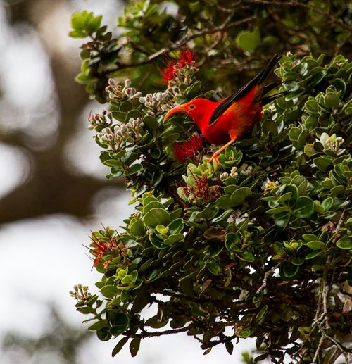 Hawaii 'I'iwi on Ohia tree Animals In The Wild Beauty In Nature Bird Bird Collection Bird Photography Birds Of EyeEm  Blooming Close-up Day Flower Flower Head Green Color Hawaii Hawaii Life Leaf Nature No People Outdoors Red Tree