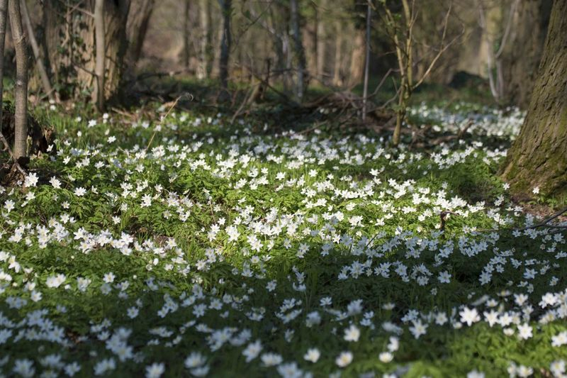 anemone carpet Anemone Flower Anemones Beauty In Nature Blooming Flower Forest Fragility Growth In Bloom Nature Nature Nature On Your Doorstep Nature Photography Nature_collection Plant Scenics Springtime Tranquil Scene Tranquility White Color