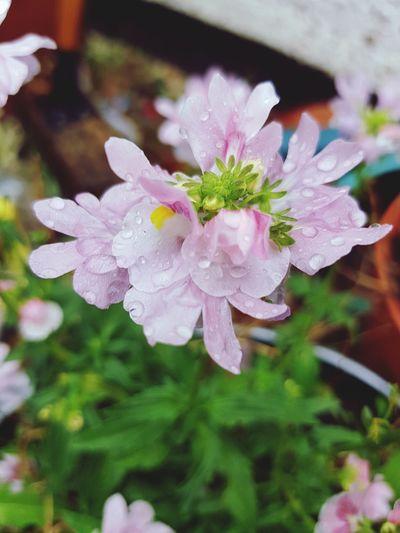 EyeEm Best Shots EyeEmNewHere EyeNatureLover EyeEm Selects Flower Water Flower Head Close-up Plant Monsoon Blooming Drop Rain Hydrangea Droplet Torrential Rain