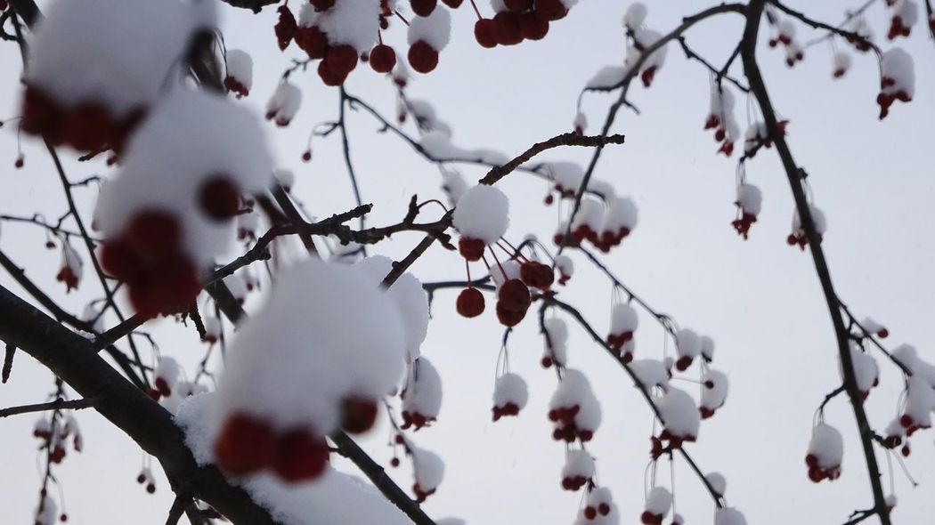 snow winter ural russia Ural Russia Tree_collection  Redberries Red Color Amazing Frost Snow ❄ Ice January Day EyeEm Selects Tree Branch Winter Snow Cold Temperature Outdoors Nature No People Beauty In Nature Sky Frozen