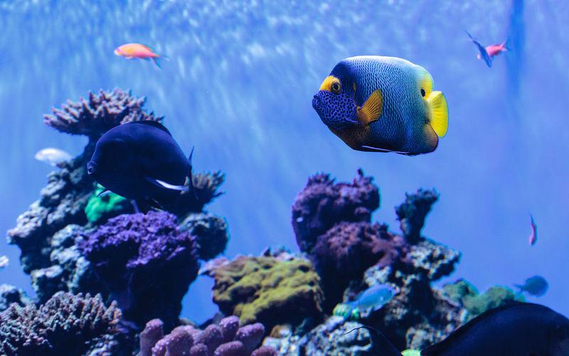 Close-up of blueface angelfish in aquarium