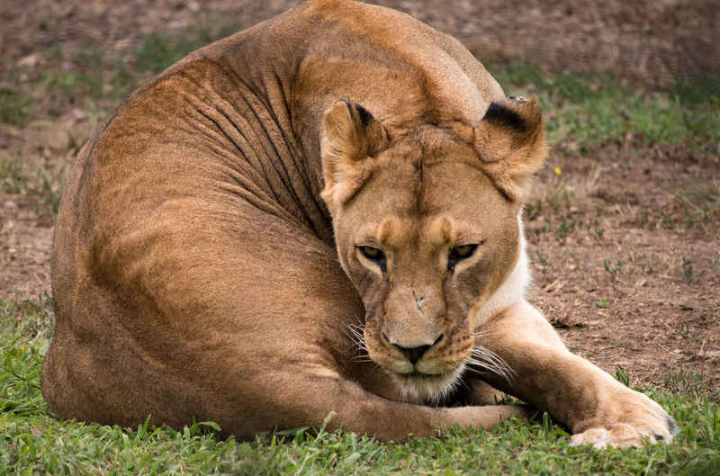 Close-up of lioness resting on grass