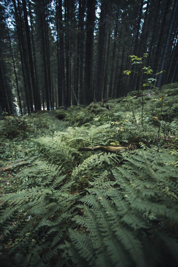 Freshness Beauty In Nature Coniferous Tree Day Environment Fern Forest Green Color Growth Jungle Land Landscape Nature No People Non-urban Scene Outdoors Pine Woodland Plant Scenics - Nature Tranquil Scene Tranquility Tree Tree Trunk Trunk WoodLand