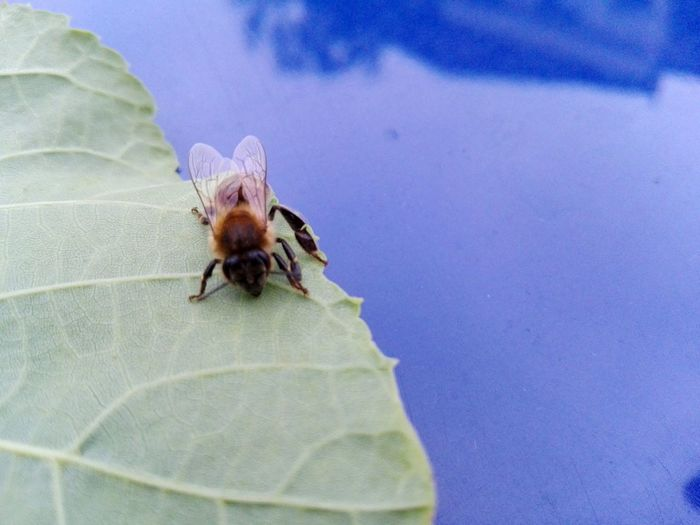 Just a little bee on a leaf Bee Leaf Beeonleaf Beeonflower Insect